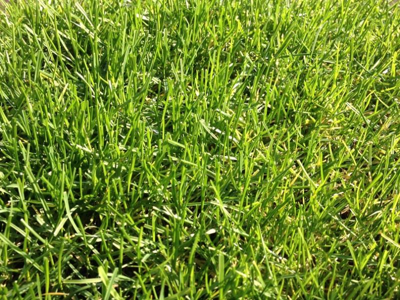 PowerGrass hybrid turf with natural grass